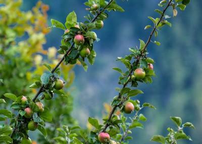 Wo die Äpfel schon im Juli rote Backen haben